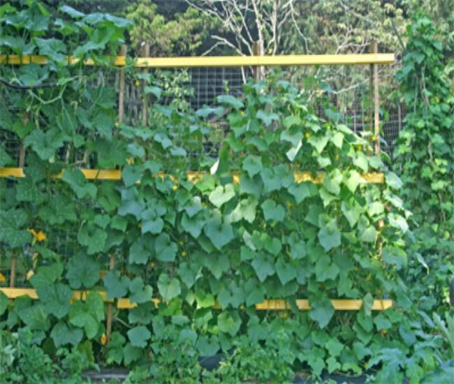 Building Trellises for Cucumbers 2